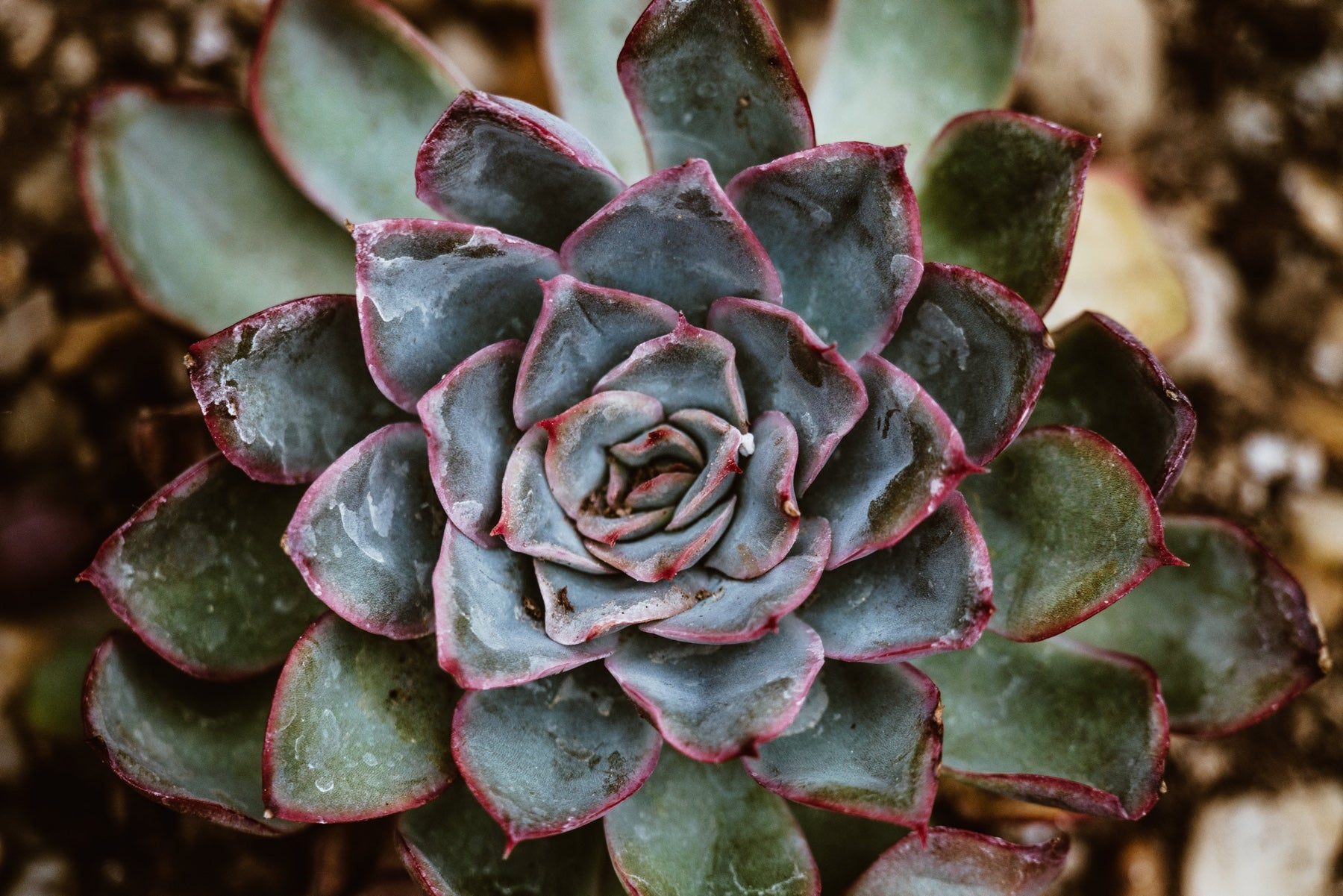 Close up detail of a purple and green succulent plant