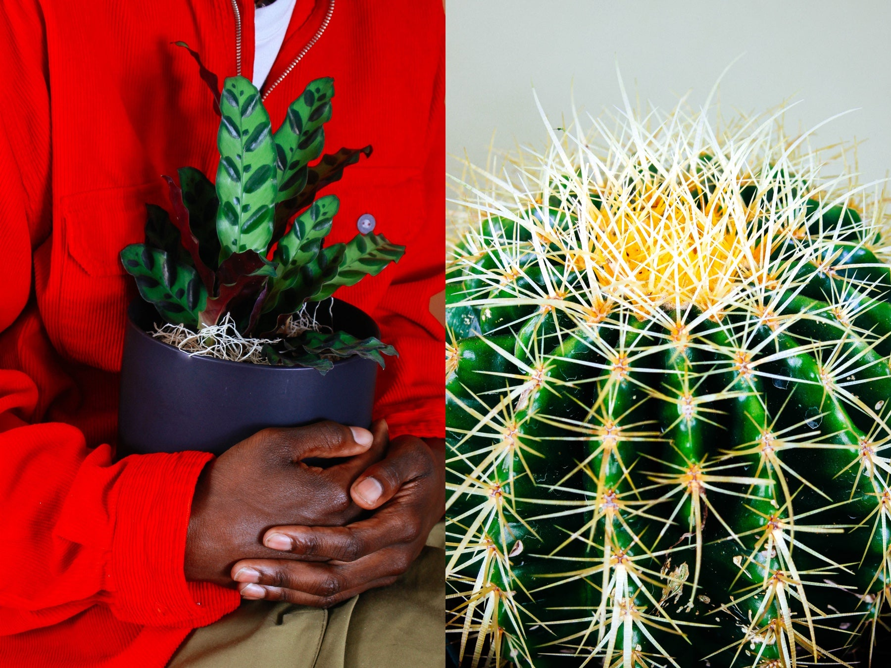 Side by side photos of plants: person holds a potted plant on the left, close up of cactus on the right