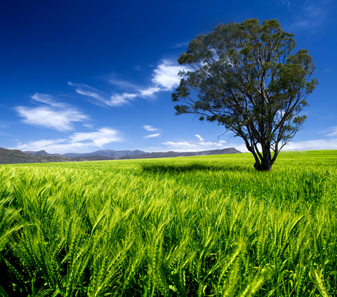 Tree in a field of green wheat