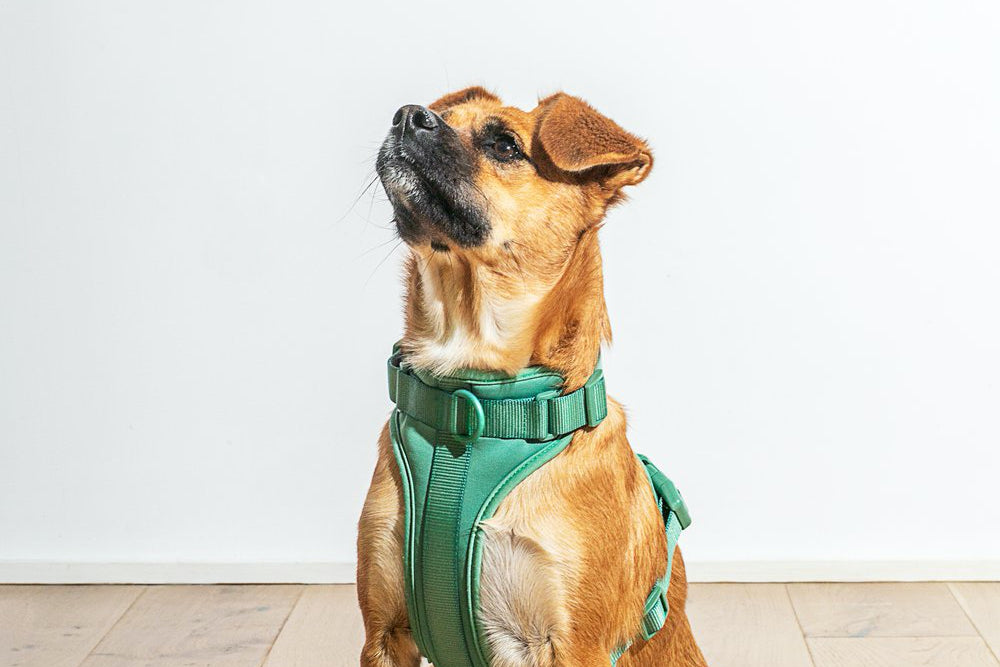 A small caramel dog wearing a green harness stares into the abyss