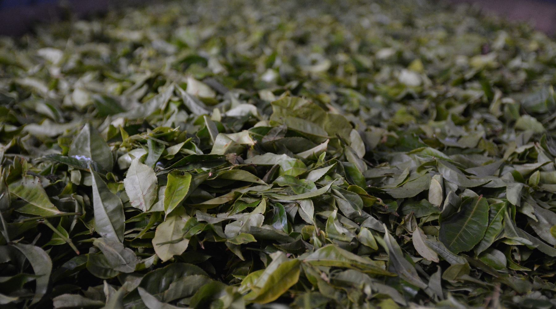 Tea Fermentation vs Oxidation - Knowing The Difference