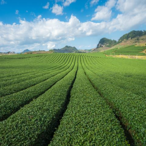 Tea Terroir