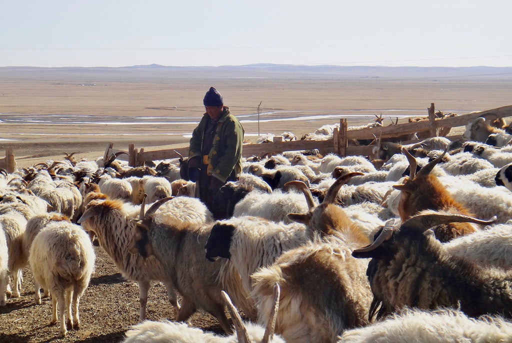 man with wool goats