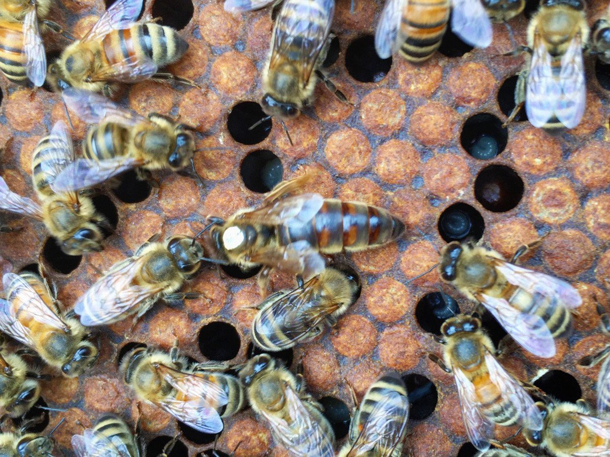 2021 CARNIOLAN QUEEN  MARKED & MATED. PICK UP AT STORE APRIL 23--24