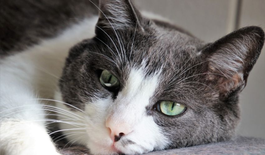 How to Prevent Kidney Disease in Cats
