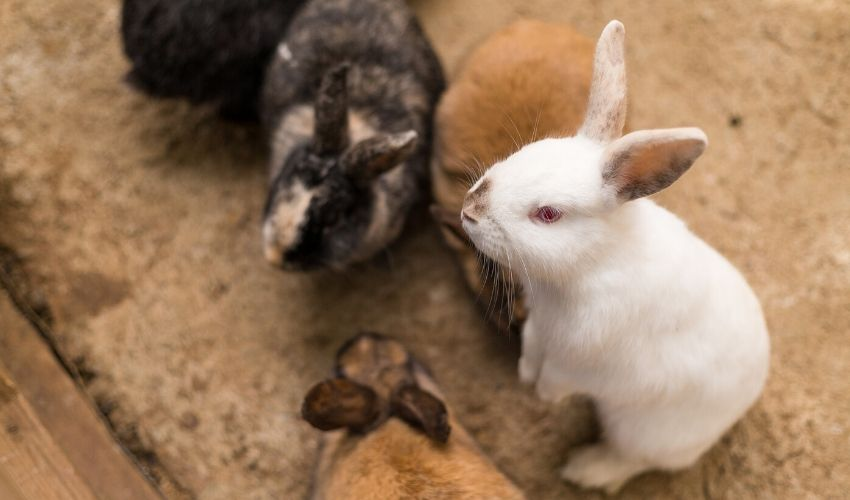 Treating Rabbits For Fleas