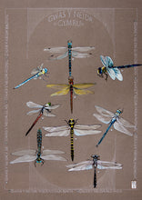 Load image into Gallery viewer, Dragonflies - Gweision Neidr