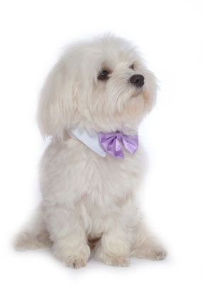 Lavender Satin Dog Bow Tie and Collar
