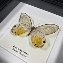 Load image into Gallery viewer, Amber Phantom (Haetera Piera)