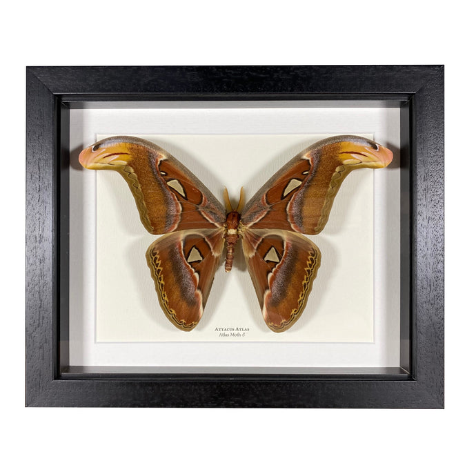 Atlas Moth ♂ (Attacus Atlas)