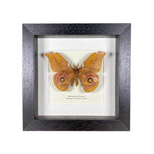 Load image into Gallery viewer, Reduced Madagascan Bullseye Moth (Antherina Suraka)