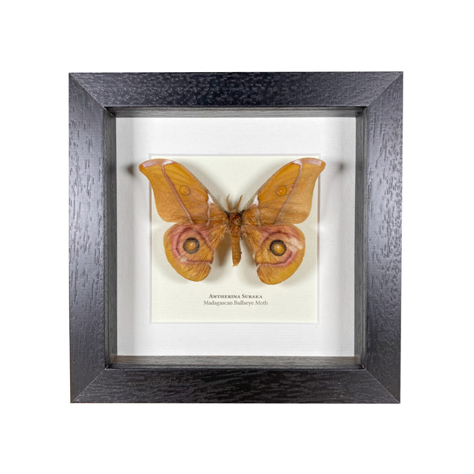 Reduced Madagascan Bullseye Moth (Antherina Suraka)