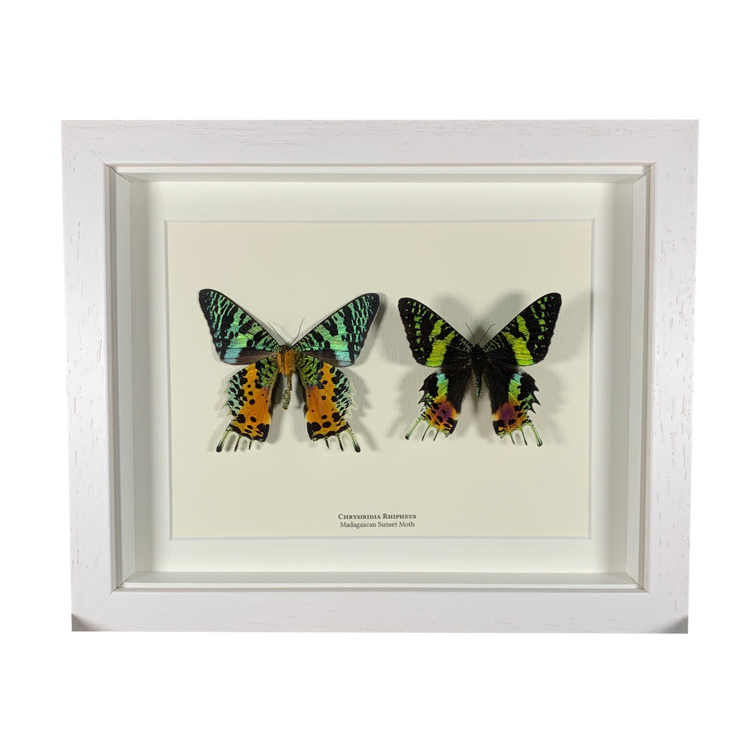 XL Madagascan Sunset Moth (Chrysiridia Rhipheus)