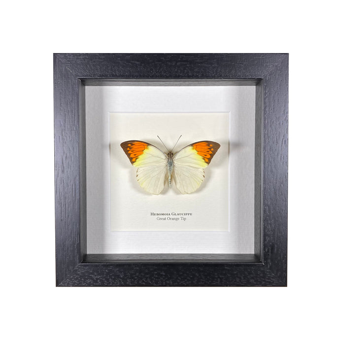 Great Orange Tip (Hebomoia Glaucippe)