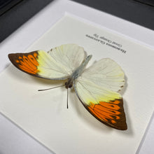 Load image into Gallery viewer, Great Orange Tip (Hebomoia Glaucippe)
