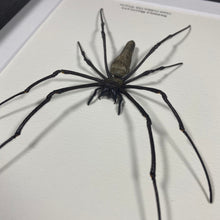 Load image into Gallery viewer, Giant Golden Orb Weaver (Nephila Maculata)