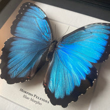 Load image into Gallery viewer, Blue Morpho (Morpho Peleides)