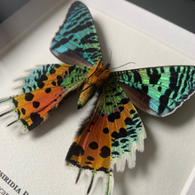 Load image into Gallery viewer, Madagascan Sunset Moth Underside (Chrysiridia Rhipheus)