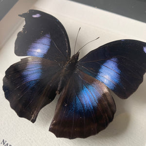 Great Blue Hookwing (Napeocles Jucunda)