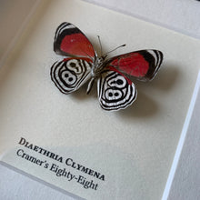 Load image into Gallery viewer, Cramer's Eighty-Eight (Diaethria Clymena)