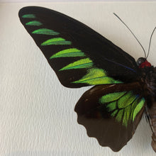 Load image into Gallery viewer, Rajah Brooke's Birdwing (Trogonoptera Brookiana)