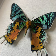 Load image into Gallery viewer, XL Madagascan Sunset Moth (Chrysiridia Rhipheus)