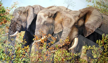 Askari - 3 Elephant - grazing mopani leaves