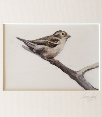 House Sparrow ♀ A5 Signed & Mounted Print