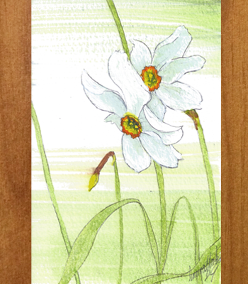 Daffodils (Narcissus poeticus) A6 Postcard