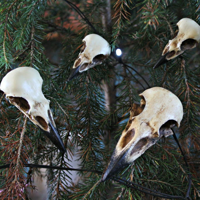 Corvidae skull collection and individual bird skulls