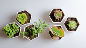Six ceramic potted succulents