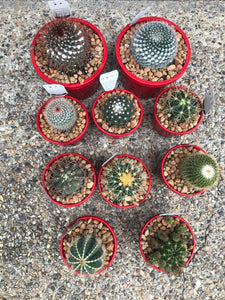 Easy Care Cactus Cacti Various Sizes from $19