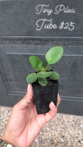 Rare Pilea Pepermoides || Chinese Money Plant