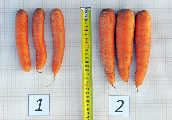 Carrots-Grown-With-Humic-Land-Fertilizer