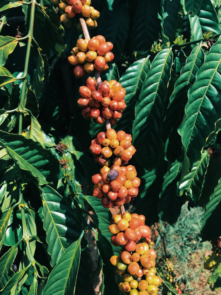 What is Vietnam's Catimor Coffee? The Taste and History of The Catimor Bean