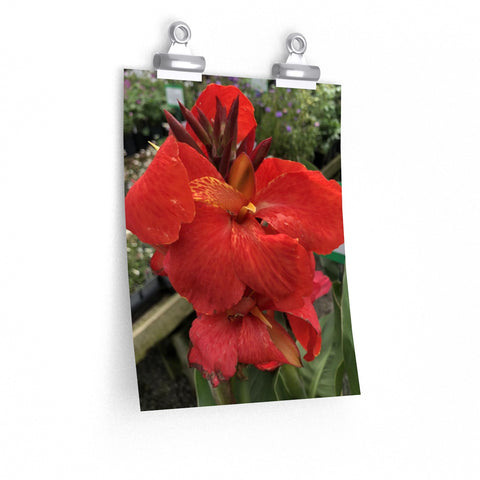 Canna Lily Posters