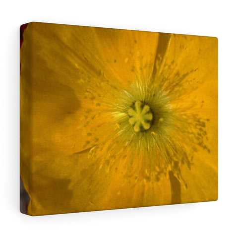 Icelandic Poppy Canvas Gallery Wraps