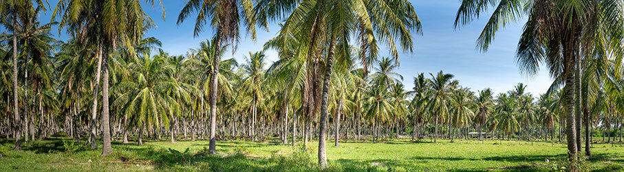 Coconut trees forest