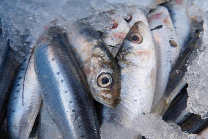 Sardine Protein – The Great Protector
