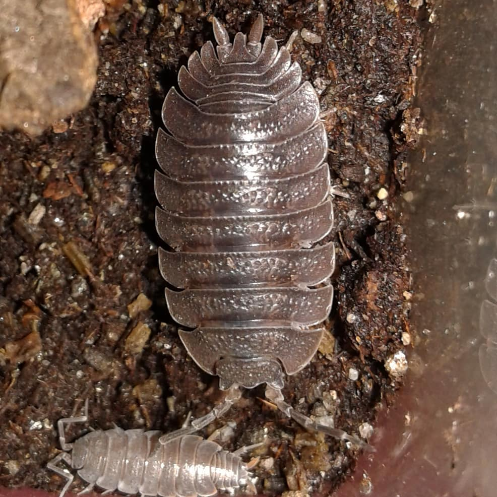 Porcellio dilatutus 'Giant Canyon' Isopods - Northern Reptile Feeders