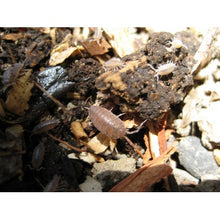 Load image into Gallery viewer, Trichoniscus Sp. 'Dwarf Costa Rican Purple' Isopods - Northern Reptile Feeders