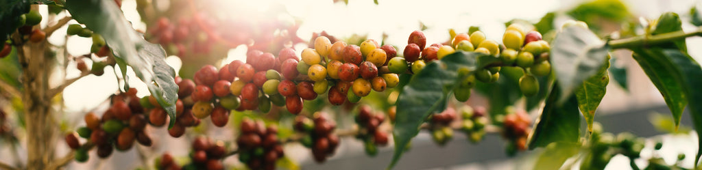 Why Organic Coffee?