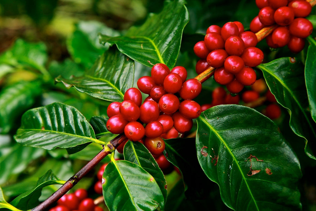 Did You Know? : Coffee Cherry