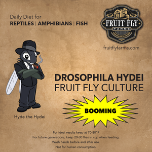 Booming Flightless Hydei Fruit Fly Culture