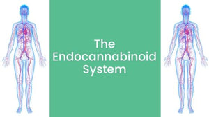 CBD and the Endocannabinoid System - All You Need To Know