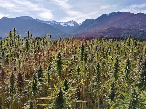 Field of Hemp Plants