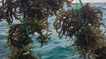 Contributions of Sea Moss To Health
