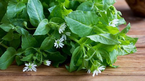 contributions of chickweed to health image
