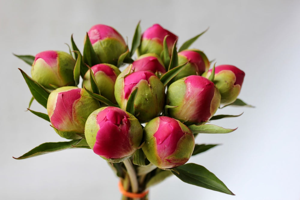 Caring for your fresh cut Peonies