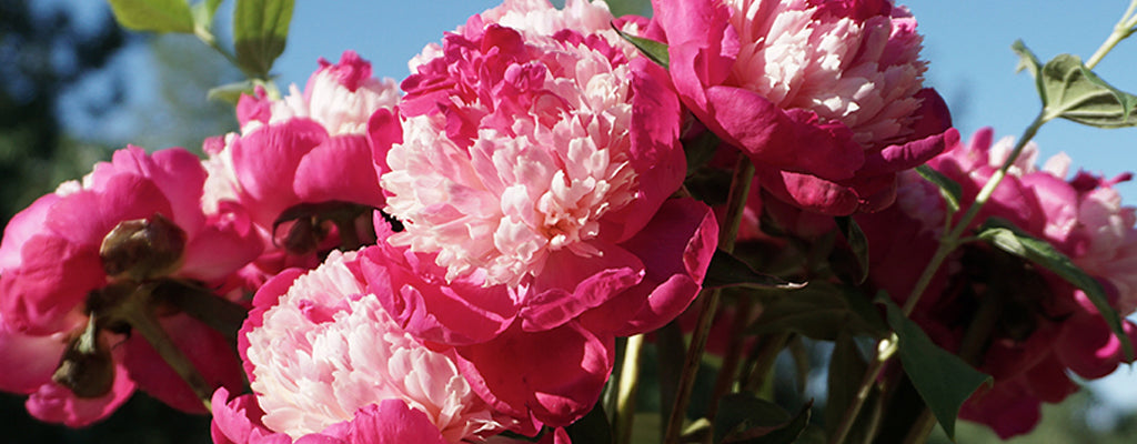 Locally Grown Peonies, Mount Hood, Oregon